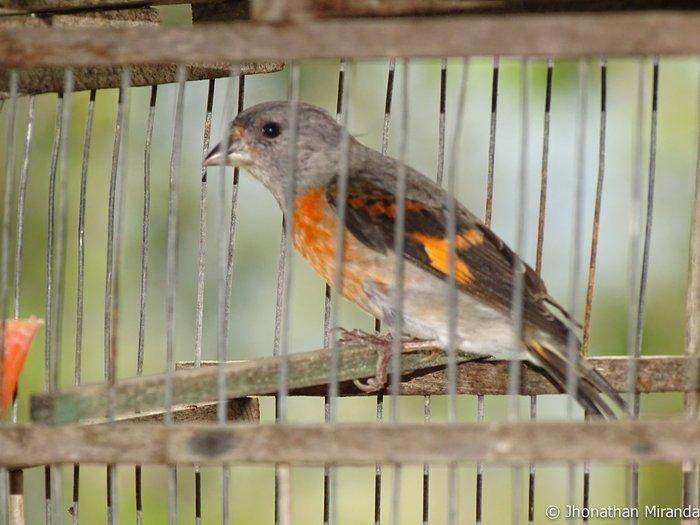 Entendiendo el tráfico ilegal del cardenalito