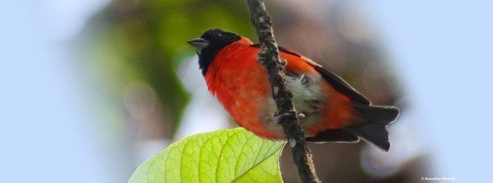 El cardenalito aparece en Mongabay