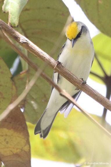 Reinitas alidoradas y nuevas poblaciones de cardenalito en Venezuela